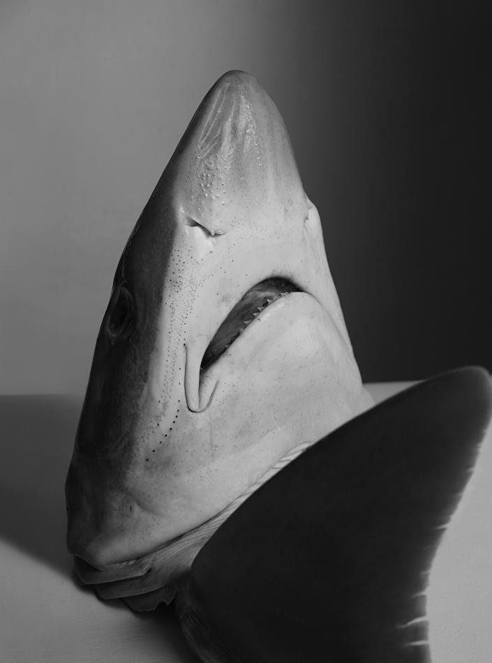 shark-head2